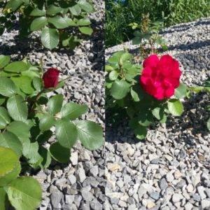 Zaczyna się od decyzji: pączek czy kwiat?